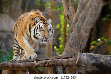 Bengal Tiger in forest show head and leg.