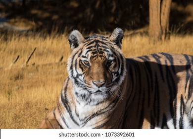 Bengal tiger in golden meadow early morning closeup