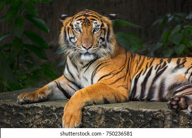Bengal Tiger head looking direct to camera
