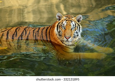 Bengal Tiger head on water