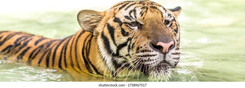 Bengal tiger, an incredible animal of nature. Asia. Web banner in panoramic view.