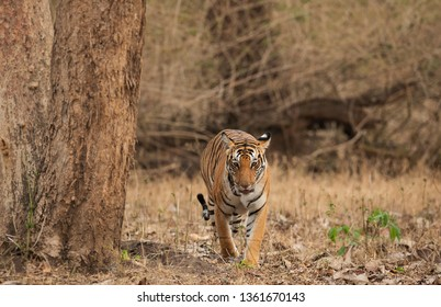 Bengal Tiger from Kabini, Nagarhole Tiger Reserve