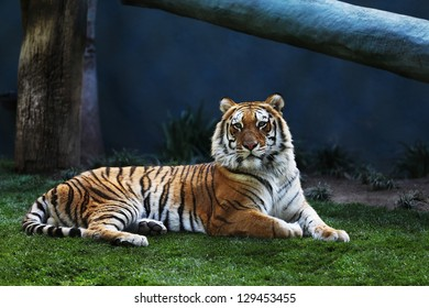 Bengal Tiger Laying on Grass