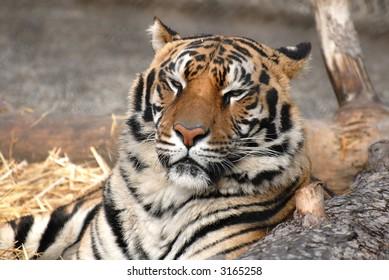 Bengal tiger looking sleepy with eyes closing
