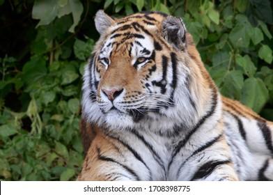 Bengal tiger in lush green jungle early morning closeup, Bandhavgarh National Park, India