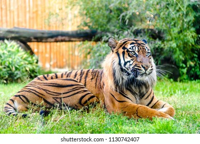 Bengal tiger lying on grass. Animals in zoo.
