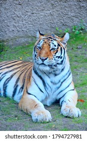 Bengal tiger lying on the grass. Beautiful tiger living . big predatory cat. Wild tiger laying down on ground. Feline