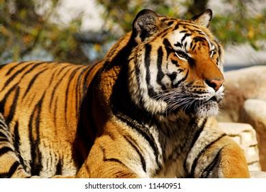 Bengal tiger lying in the sun
