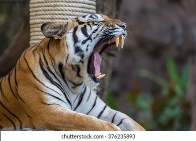 Bengal Tiger with open mouth.