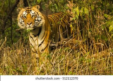 Bengal Tiger, Panthera tigris tigris, in forest, Kanha National Park, Madhya Pradesh, India, Asia
