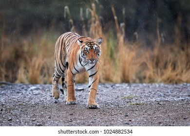 Bengal tiger, Panthera tigris in heavy rain, staring at camera. Tigress walking on gravel, emerging from yellow grass, perfectly camouflaged. Tiger in its natural habitat. Ranthambore, India.