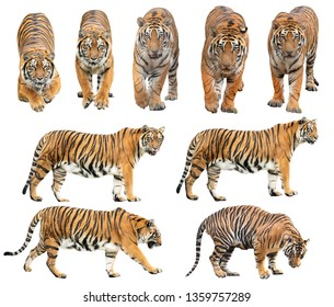 bengal tiger (Panthera tigris) isolated on white background