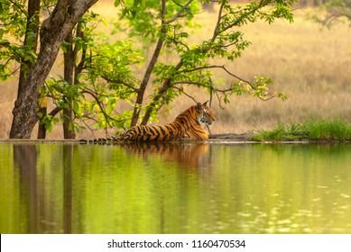 The Bengal tiger (Panthera tigris tigris) on the lake shore in Ranthambore National Park, India.