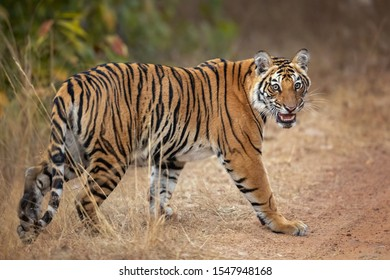 Bengal tiger is a Panthera tigris tigris population native to the Indian subcontinent.