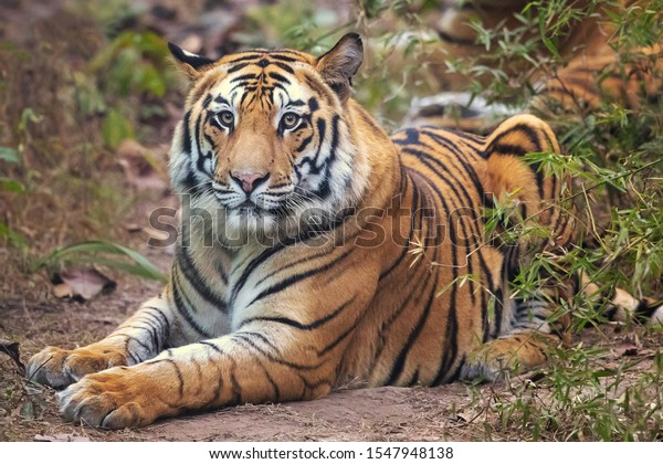 Bengal tiger is a Panthera tigris tigris population native to the Indian subcontinent.