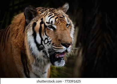 The Bengal tiger (Panthera tigris tigris) portrait.