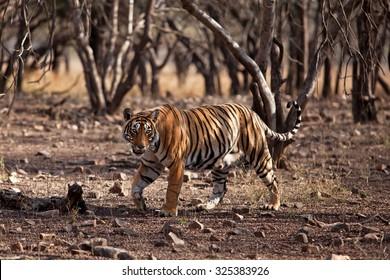 Bengal tiger, Panthera tigris tigris, T19