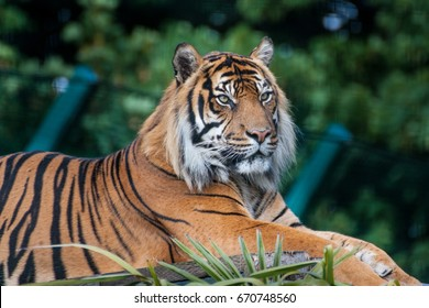 The Bengal tiger (Panthera tigris tigris).  The Bengal tiger's coat is yellow to light orange, with stripes ranging from dark brown to black.