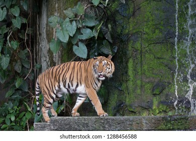 Bengal tiger (Panthera tigris) with the waterfall.