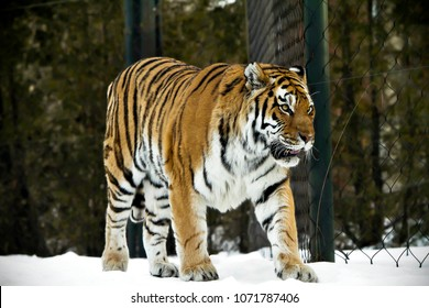 178baf71e Bengal tiger pose on beautiful winter landscape. Great tiger picture on the  beautiful background.