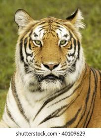 Bengal Tiger Profile