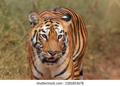 Bengal Tiger at Ranthambhore National Park