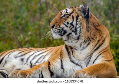 A bengal tiger relaxes