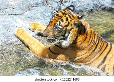 Bengal tiger relaxing inside a water stream in West Bengal, India.