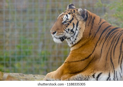 A bengal tiger at rest lies down