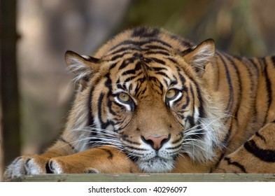 Bengal Tiger resting and looking into the frame