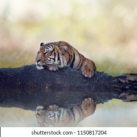 Bengal tiger resting on a rock near pond