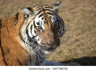 A Bengal Tiger is seen in Arizona