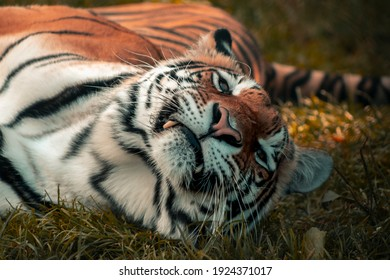 Bengal Tiger Smiling and showing Teeth
