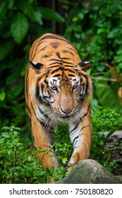 bengal tiger standing with bamboo bushes in background