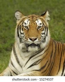 Bengal Tiger Staring