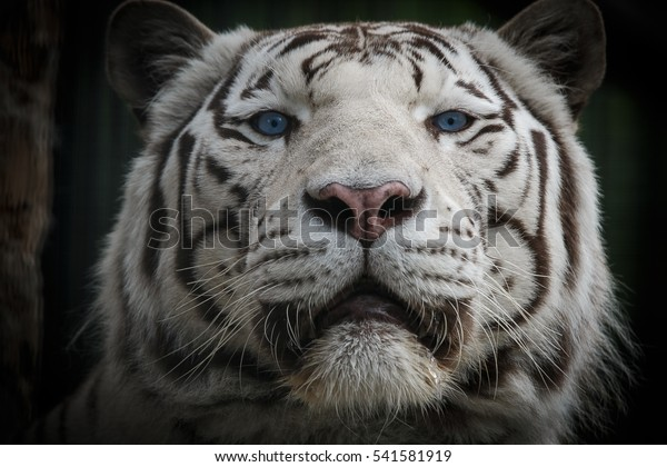 Bengal Tiger Tigers Separate Subspecies Living Stock Photo