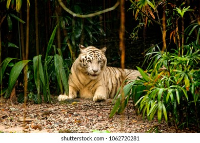 Bengal tiger in the trees