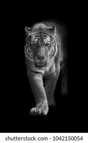 bengal tiger walking out of the dark and into the light, amazing wildlife wallpaper