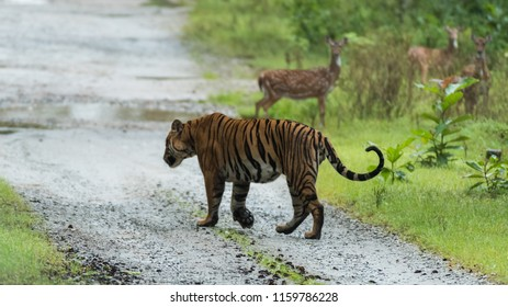 Bengal tiger wandering around Kabini forest in monsoon season. Karnataka , India