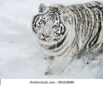 Bengal tiger in the winter