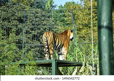 bengal tiger in the zoo