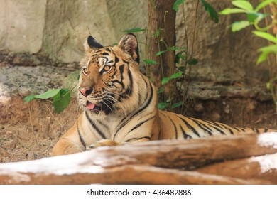 Bengal Tiger in zoo,portrait of a Bengal tiger