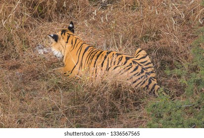 Bengal tiger's ears from the back contain white dots