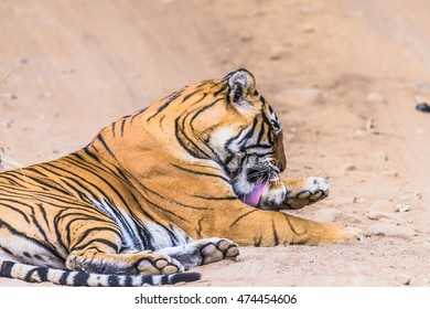 Bengal Tigress named Noor (T-39) resting at their natural habitat, Ranthambore Tiger Reserve, India