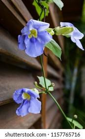 Bengal Trumpet flowering vine