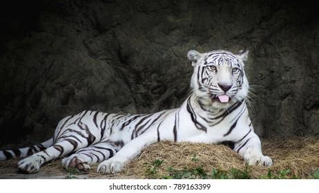 Bengal white tiger