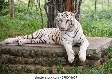Bengal white Tiger lying down with green eyes staring in a national park in Karnataka India. Adventure safari trip through dense forest path with wild animals. copy space, albino endangered species