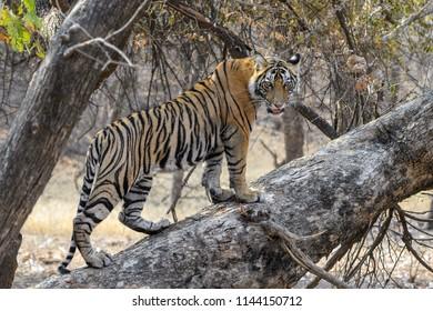 Bengala tiger climbing on a branch