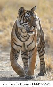 Bengala tiger walking