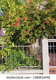 "Bengal-Currants, Carandas-plum, Karanda   The name ""Mango, don't know, lime, don't know."" This species has other local names that Tham Kae Haad (Chiang Mai), Nam Daeng (Bangkok)"